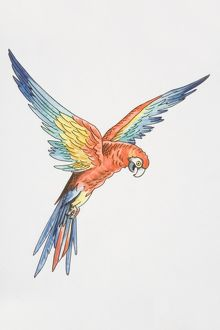 Illustration, Scarlet Macaw (ara macao) with wings outspread, side view.