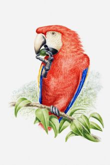 Illustration of a Scarlet macaw (Ara macao) eating a nut