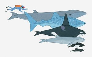 Illustration showing the size of Fin Whale, Whale Shark, Killer Whale, Pygmy Right Whale