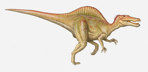 Illustration of a Spinosaurus, Cretaceous period