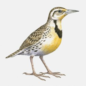 Illustration of a Western meadowlark (Sturnella neglecta), side view
