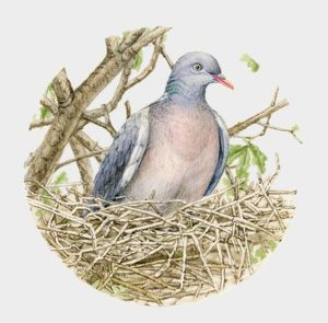 Illustration of a Wood pigeon (Columba palumbus) in a nest