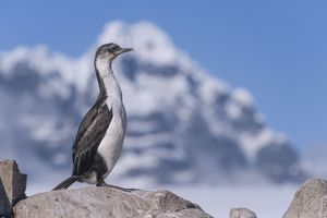 Imperial Shag or Antarctic Cormorant -Phalacrocorax atriceps-, fledged young bird