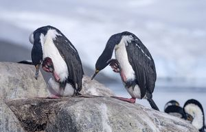 Imperial Shags or Antarctic Cormorants -Phalacrocorax atriceps-, pair scratching themselves