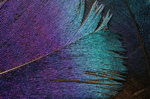 IMPEYAN PHEASANT FEATHER (PHASIANIDAE) CLOSE-UP