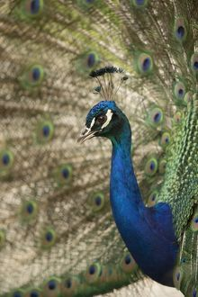 Indian Peafowl or Blue Peafowl -Pavo cristatus-, male displaying, North Rhine-Westphalia