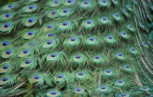 Indian Peafowl or Blue Peafowl -Pavo cristatus-, male, detail of peacock feathers