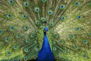 Indian Peafowl or Blue Peafowl -Pavo cristatus-, male, displaying