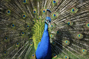 Indian Peafowl -Pavo cristatus- displaying