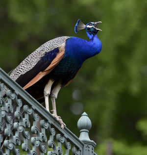 Indian peafowl (Pavo cristatus) perching on a fence, Stuttgart, Baden-Wurttemberg, Germany