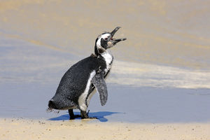 Jackass Penguin, Black-footed Penguin or African Penguin -Spheniscus demersus-, juvenile