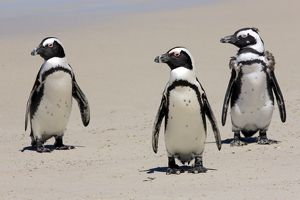Jackass Penguin, Black-footed Penguin or African Penguin -Spheniscus demersus-, small