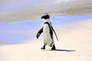 Jackass Penguin, Black-footed Penguin or African Penguin -Spheniscus demersus-, adult