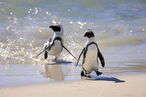 Jackass Penguin, Black-footed Penguin or African Penguin -Spheniscus demersus-, pair on the beach