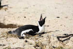 Jackass Penguin, Black-footed Penguin or African Penguin -Spheniscus demersus-, incubating eggs