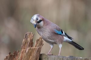 wilfried martin nature photography/jay garrulus glandarius germany