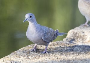 Juvenile Eurasian Collared-Dove (Streptopelia decaocto) . Spain