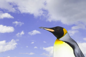 King penguin (Aptenodytes patagonicus) against cloudy sky, side view