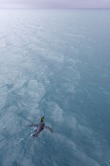 King penguin (Aptenodytes patagonicus) in sea, elevated view
