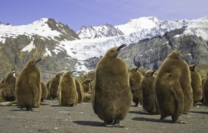 King penguin chicks in colony on beach