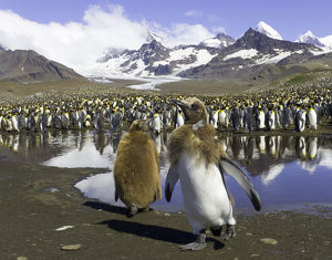 King penguin rookery (focus on two chicks in foreground)
