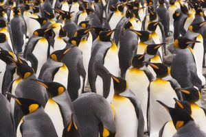 King Penguins, Aptenodytes patagonicus, in a bird colony on South Georgia Island