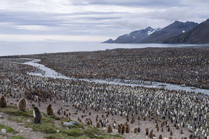 King Penguins -Aptenodytes patagonicus-, King Penguin colony, St. Andrews Bay, South Georgia