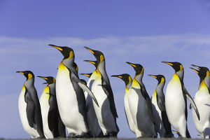 King penguins (Aptenodytes patagonicus) standing on beach, side view