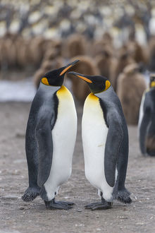 King Penguins -Aptenodytes patagonicus- adult birds, pair in King Penguin colony, St