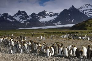 King Penguins -Aptenodytes patagonicus- in front of glaciers and a mountain scenery