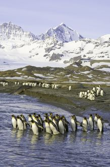 King penguins marching to sea to wash feathers