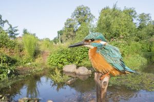 wilfried martin nature photography/kingfisher alcedo atthis branch habitat wide