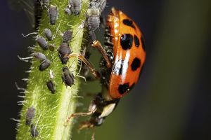 Ladybird (Coccinellidae) with aphids (Aphidoidea), macro