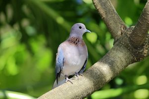Laughing Dove -Streptopelia senegalensis-, adult on tree, South Africa