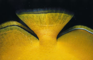 Lemon Butterflyfish Tail
