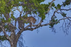 Leopard -Panthera pardus- in a fig tree at dusk, Masai Mara National Reserve, Kenya