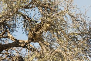 Leopard -Panthera pardus- perched on the tree, camoflaged, Namibia