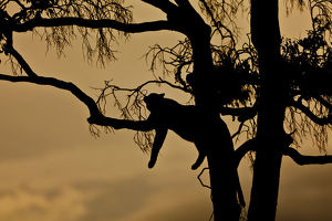 Leopard -Panthera pardus- resting on a fig tree at dusk, silhouette, Masai Mara National Reserve