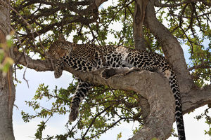 Leopard -Panthera pardus- sleeping in a fig tree, Masai Mara National Reserve, Kenya