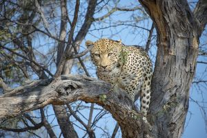 Leopard -Panthera pardus- in tree, Khomas, Namibia