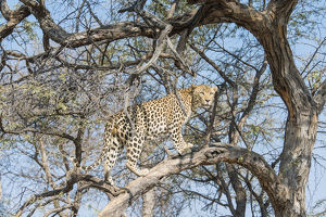 Leopard -Panthera pardus- in a tree, Khomas, Namibia