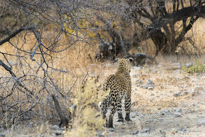 Leopard -Panthera pardus- walking in dry bushes, from behind, Etosha National Park