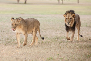 The lion (Panthera leo) is one of the big cats in the genus Panthera and a member