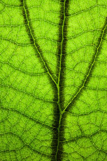 Back Lit Green Leaf at High Resolution Showing Extreme Detail