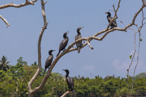 Little Cormorants -Phalacrocorax niger- perched on a tree, nature reserve near Godahena