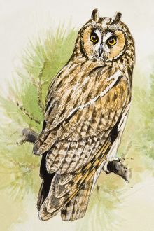 Long-eared Owl (Asio otus), perching on a branch, looking over shoulder