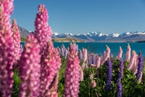 travel/photographer collections tonnaja travel photography/lupins bloom lake tekapo