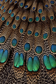 Malay Peacock Pheasant Wing & Tail Feather Design