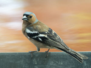 Male Chaffinch bird species , (Fringilla coelebs ), of the family Passeriformes