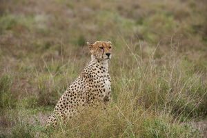 male Cheetah, Acinonyx jubatus